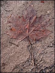 Ahornblatt (sulamith.sallmann) Tags: autumn brown plant season deutschland floor herbst jahreszeit natur pflanze braun schmutz dreck boden erde xyz botanik gewächs botanisch herbstlich herbstzeit berlinmoabit sulamithsallmann naturewatcher fu0 gewã¤chs