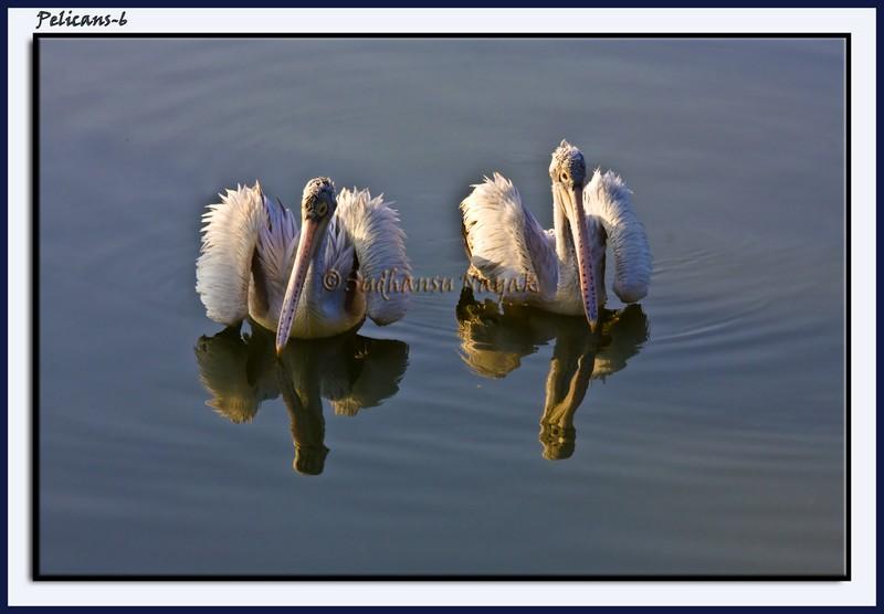 Pelicans-6