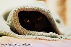 Salem in Robe (Heather Yarnell) Tags: cat bed robe missouri salem independence