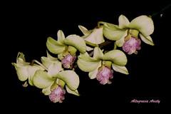 Orquídeas/Orchids (Altagracia Aristy) Tags: america américa dominicanrepublic dominicana tropic caribbean orquídeas antilles laromana caribe orquídea repúblicadominicana trópico antillas quisqueya fujifinepixs8100fd altagraciaaristy caraïbi
