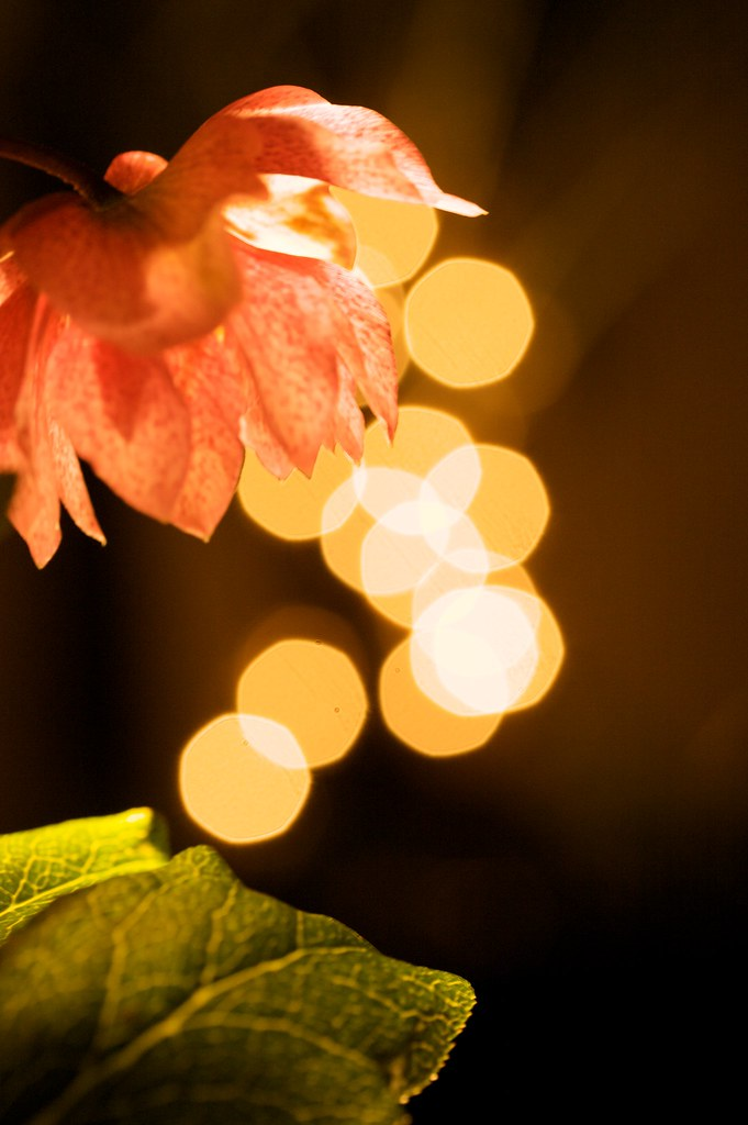 Hellebore Sparkle