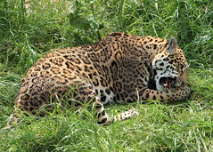 Bonita (Mark Butcher) Tags: south american bonita jaguar southlakeswildanimalpark flickrbigcats