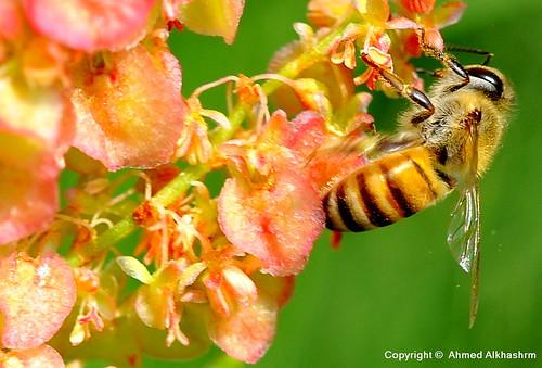 عقاب النحل عندما يسكر..!