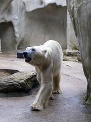 Viktor ('Ebe) Tags: bear viktor polarbear rhenen savethepolarbear ouwehandszoo