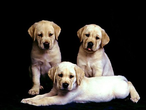 Labrador puppies posing
