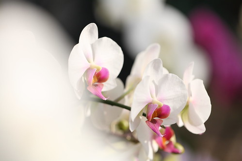 Orchis graminifolia