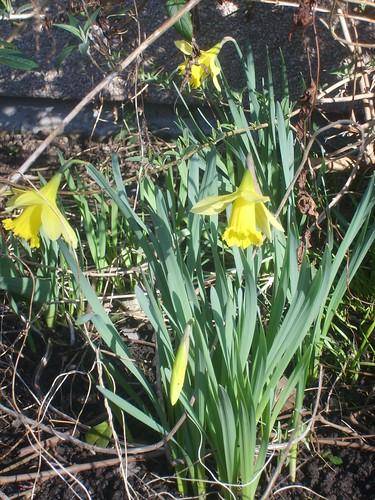 Daffodil1 5mar08