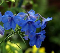 blue flowers for spring