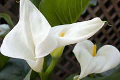 Calla Lily Three (rdmrtnz) Tags: flower bloom callalily rigomartinez