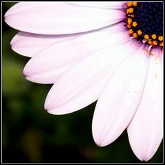 Polline (~MP~) Tags: flower powder petal daisy pollen fiori petali margherita polline flowerdetail