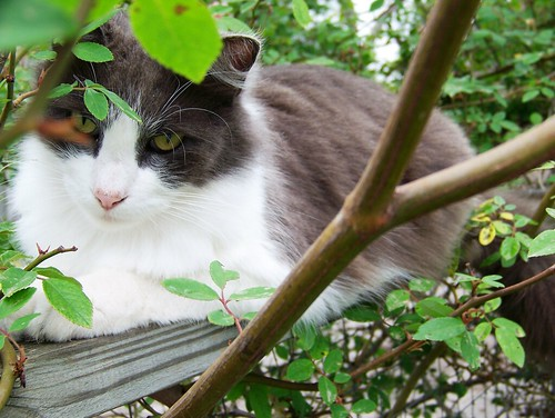 Smokey in a rosebush