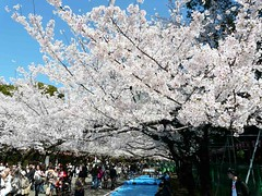 uenosakura (48) (davidjapan) Tags: park cherry ueno blossom sakura hanami kirschbluete