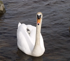 Cranky swan in Killaloe (Lean66) Tags: water swan killaloe coclare