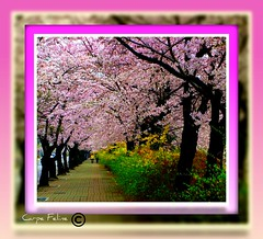 cherry blossoms & forsythia along road (Carpe Feline) Tags: flowers floral spring asia korea seoul forsythia yeouido cherryblossomfestival blueribbonwinner theunforgettablepictures carpefeline absolutelystunningscapes theworldinpink