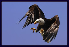 Practice (hvhe1) Tags: bird nature animal bravo eagle wildlife baldeagle raptor ih interestingness2 naturesfinest firstquality birdofpray specanimal animalkingdomelite hvhe1 hennievanheerden infinestyle avianexcellence