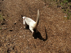 Tamandua on the trail
