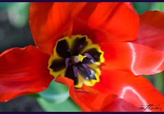 Burst of red! (Kadacat (Marlene)) Tags: flowers red macro spring tulip bloom naturesfinest canon30d kadacat rockclifferockeries
