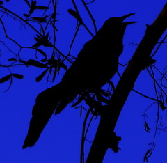 Bird silhouette (kevin dooley) Tags: blue favorite black color bird beautiful silhouette wow cutout dark interesting fantastic flickr pretty purple very good gorgeous awesome deep award superior super best explore most winner stunning excellent duotone much bluebird outline incredible blackbird breathtaking exciting stong phenomenal