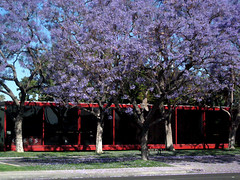 Color, Nature and Design Unite in Harmony (d_rod) Tags: building architecture design longbeach modular gibbs jacarandatree drod longbeachandbeyondphotos longbeachblvd bixbyknollsimages