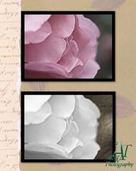 roseflowers28x10