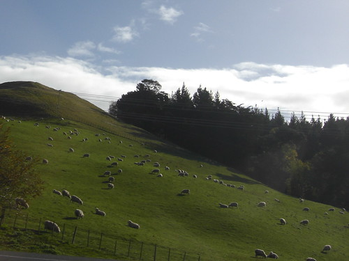 the hills are alive... with sheep!