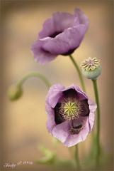 Poppy Pastels (Jacky Parker Photography) Tags: flower nature garden flora purple lilac seedhead poppies soe amazingcolors excellence fpg flowerotica fineartphotos abigfave goldstaraward