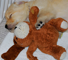 Sleeping Baby (sundero) Tags: dog stuffedtoy goldenretriever puppy toy golden sleepingpuppy