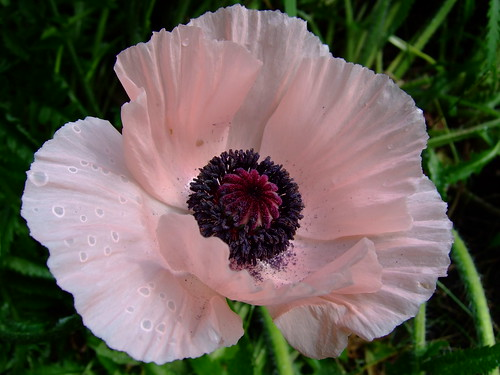 Backyard Poppy