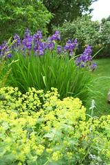 Castlegar garden in spring (arrowlakelass) Tags: garden spring siberianiris castlegar alchemillamollis ladysmantle
