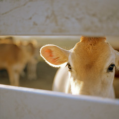 Curiosity (Ayoumali) Tags: ca film square 2008 sebastopol 120mm heifer hasselblad503cw kodakportranc100 slowlyscanningthrough