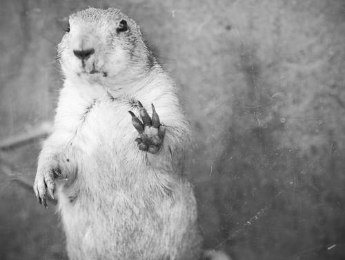 Prairie Dog Says Hi par Karen.Strolia