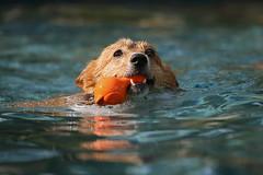 I'm coming, Daddy! (KevinV916) Tags: pool swimming pembroke corgi welsh fetch
