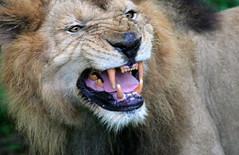 Let the Lion's Roar Last Forever !!!!!! (Balakrishnan Valappil) Tags: loveit goldstaraward alwayscomment5