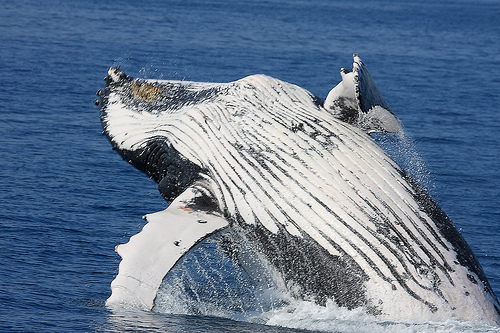 2685236847 ab08575b15 o Top 12 Hotspots for Whale Watching