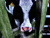nosey (allybeag) Tags: green face nose cow gate cattle label farming number nostril agriculture heifer 200645