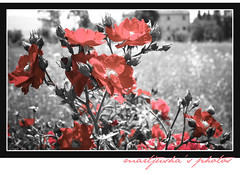 Look at me, I'm so red.. (Martjusha) Tags: flowers red summer flower field estate campagna fields wildrose fiori rosso umbria countryhouse todi casale campi rosaselvatica selectedcolors