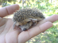 More from my baby (BlueLunarRose) Tags: baby cute nature animal hedgehog cuteanimal hedg