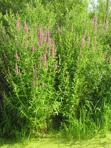 Purple Loosestrife - invasive exotic