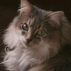 Misty 2 (Saxon9) Tags: new trip travel portrait cute green art cat canon fur fun nose grey eyes feline pretty australia ears fluff whiskers sunbeam bestofcats pfogold
