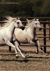 Together ... (FaisaL HamadaH) Tags: horse canon is bravo mark iii together kuwait usm 2008 f8 fa eos1d q8 400mm kwt   f28l faisalhamadah canoneosmarkiii kuwaitvwc