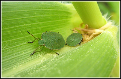 GreenShieldbugs2 copy