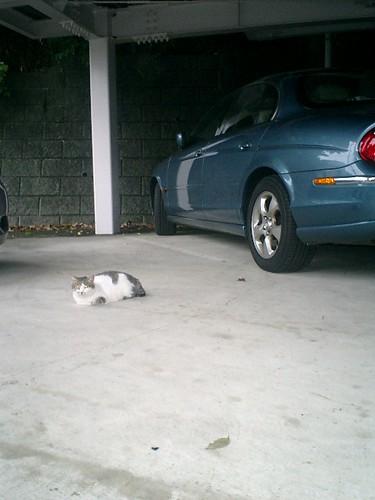 夕方、実家へ行くときに近所の駐車場で意味も無く撮った。他人様のクルマ「JAGUAR」の傍で寛ぐ'ジョン・ケイ'。 by you.
