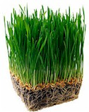 wheatgrass-juice-health-benefits