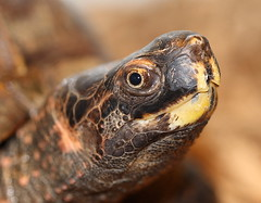 Spiny hill turtle (heosemys) Tags: turtle reptile spinosa heosemys canon100mm