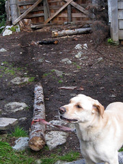 dog labrador escape pole hut birch tied pulling woodshed cerisecreek keithshut keithflavellememorialhut