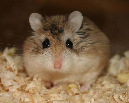Stare by roborovski hamsters.