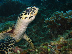 Hawksbill Turtle at House Reef