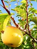 AnaMaria'sApple02 (Moranga) Tags: tree green apple portugal nature yellow countryside country snail orchard magoito fada naturesfinest moranga fadamoranga anawesomeshot