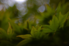 ~ (Skink74) Tags: uk morning england tree green 20d leaves geotagged maple dof bokeh hampshire acer hursley eos20d sunkengarden nikkor35f14 geo:lat=5102581 geo:lon=1400391 nikkor35mm114ai