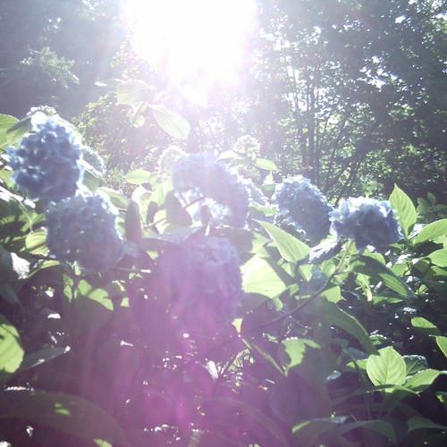 【写真】ミニデジ(MiniDigi)で撮影した、紫陽花の名所鎌倉明月院の紫陽花